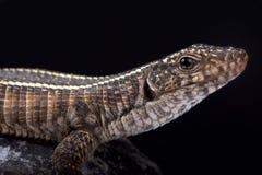 Giant plated lizard, Matobosaurus validus Royalty Free Stock Photo