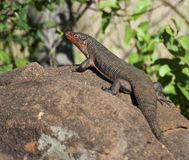 Giant Plated Lizard Royalty Free Stock Images
