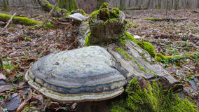 Giant Polypore fungi in fall Stock Images