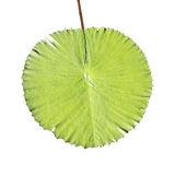 Giant pond leaf. Giant green leaf isolated on white royalty free stock photography