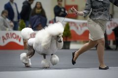 Giant poodle marching in a contest with its owner stock photo