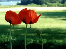 giant poppies Royalty Free Stock Image