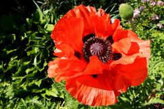 Giant poppy flower royalty free stock images