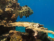 Giant Potato Cod on Great Barrier Reef Stock Photography