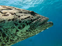 Giant Potato cod Great Barrier Reef Austral Royalty Free Stock Image