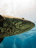 Giant Potato cod Great Barrier Reef Australia royalty free stock photo