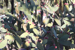 Giant Prickly Pear with Red Fruits Royalty Free Stock Images