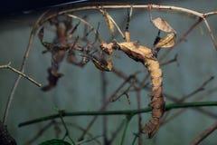 Giant prickly stick insect (Extatosoma tiaratum). Stock Photos