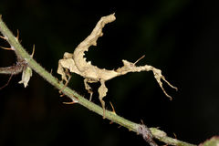 Giant Prickly Stick Insect, Macleay's Spectre Stock Images