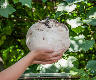 Giant puffball is edible and medicinal mushroom Royalty Free Stock Photos