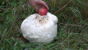 Giant puffball Langermannia gigantea mushroom and red apple stock footage