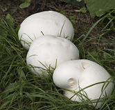 Giant puffball mushrooms. Three giant white puffball mushrooms. These special mushrooms are edible Royalty Free Stock Photo