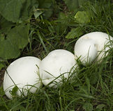 Giant puffball mushrooms. Three giant, white, puffball mushrooms. These mushrooms are edible Stock Image