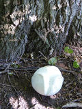 Giant Puffball Royalty Free Stock Images