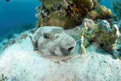 Giant puffer fish Stock Image