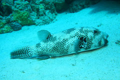 Giant puffer fish Stock Photography
