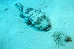 Giant puffer fish Royalty Free Stock Photography