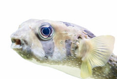 Giant Puffer Fish, Galapagos isolated Stock Image