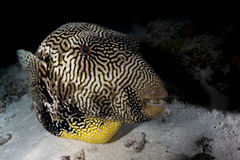 Giant puffer fish Royalty Free Stock Photos