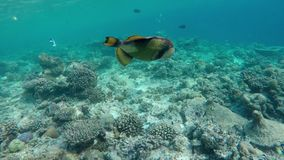 A giant puffer fish swimming. In the coral reef stock video footage
