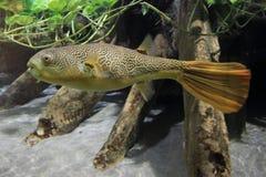 Giant pufferfish Royalty Free Stock Photo