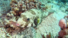 Giant pufferfish or Mbu pufferfish Royalty Free Stock Photography