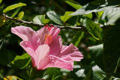 Giant Puffy Pink Flower opens for Florida Sunshine royalty free stock photography