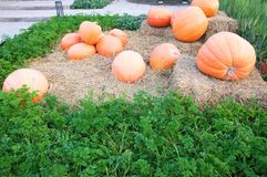 Harvest fresh pumpkin orange in the farm stock photos