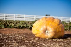 Giant Pumpkin Stock Images