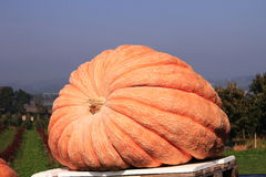Giant pumpkin Royalty Free Stock Images