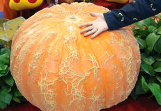 Giant pumpkin Royalty Free Stock Image