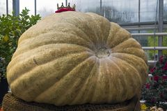 Giant pumpkin at the exhibition. Royalty Free Stock Photo