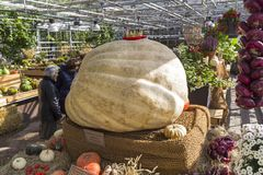 Giant pumpkin at the exhibition. Stock Photography