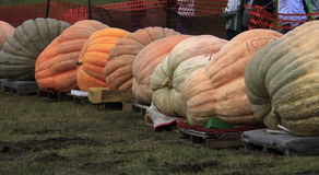 Giant pumpkin line Stock Photo