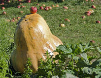 Giant pumpkin Stock Photography