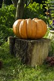 Giant Pumpkin on Stump. Large pumpkin on a stump in a garden Stock Image
