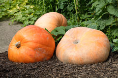 Giant pumpkins set for celebrating Halloween and fall in garden Royalty Free Stock Images