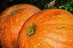 Giant pumpkins Stock Photo