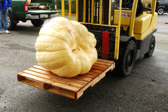 Giant Pumpkins royalty free stock photo