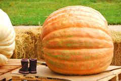 Giant Pumpkins Stock Photography