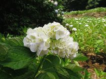 Giant Pure White Ball-shape Hydrangea Stock Photos