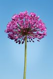 Giant Purple Allium Flower on Blue Sky Stock Photos
