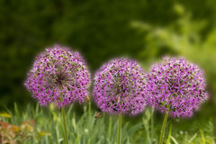 Giant purple allium flower field with tiny blue flowers Royalty Free Stock Image