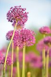 Giant purple allium flowers Royalty Free Stock Photography
