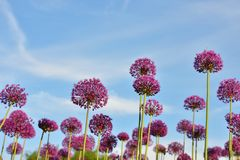 Giant purple allium flowers Stock Photo
