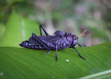 Giant Purple Grasshopper. Large purple Giant Red-Winged Grasshopper in Costa Rica Stock Photos