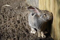 Giant rabbit Stock Photos