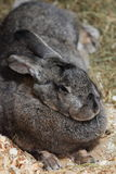 Giant Rabbit Stock Images