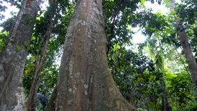 Giant rain forest tree trunk stock video footage