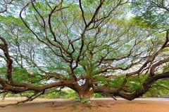 Giant rain tree Stock Image